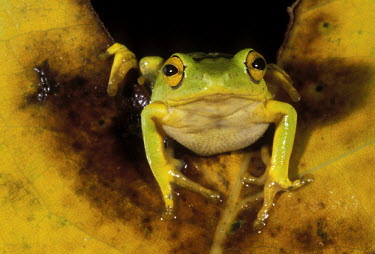 Reed frog Africa,Amphibians,frogs,Animalia,Chordata,Amphibia,Anura,night,dark background,green,portrait,comical,Amphibians fish,Frogs and Toads,Chordates,Hyperoliidae,African Reed Frogs,Hyperolius,Streams and r
