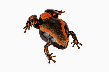 Banded rubber frog Africa,Amphibians,frogs,Animalia,Chordata,Amphibia,Anura,Microhylidae,Phrynomantis bifasciatus,Phrynomerus bifasciatus,studio,white background,defence,behaviour,warning,coloration,bright,red,Amphibian