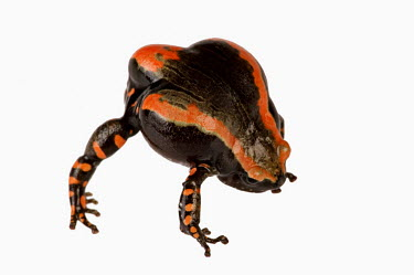 Banded rubber frog Africa,Amphibians,frogs,Animalia,Chordata,Amphibia,Anura,Microhylidae,Phrynomantis bifasciatus,Phrynomerus bifasciatus,studio,white background,defence,behaviour,warning,coloration,bright,red,posture,A