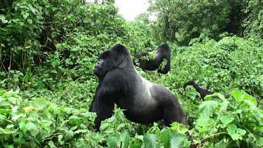 Mountain gorillas Gorilla beringei beringei,mountain gorilla,Chordata,Mammalia,mammals,mammal,Primates,primate,Hominidae,hominid,ape,apes,great ape,great apes,adults,adult,undergrowth,plants,Chordates,Mammals,Hominids,
