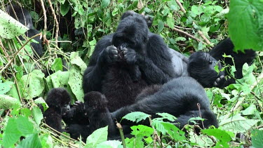 Mountain gorilla family Gorilla beringei beringei,mountain gorilla,Chordata,Mammalia,mammals,mammal,Primates,primate,Hominidae,hominid,ape,apes,great ape,great apes,family,young,adults,adult,juvenile,juveniles,rest,resting,p