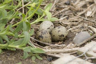 Arctic tern - nest with eggs arctic,tern,Sterna paradisaea,Sterna,paradisaea,farne islands,Farne,migrant,migration,fish,fishing,sea,seaside,coast,Northumberland,island,white,grey,june,england,Arctic-tern,Animalia,Chordata,Aves,Ch