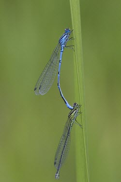 Azure Damselfly - Coenagrion puella Azure Damselfly,Coenagrion puella,dragonfly,wings,blue,metallic,shiny,ponds,rivers,streams,hunt,hunter,hunting,summer,spring,sun,sunny,warm,mating,reproduction,in cop,cop,paired,male and female,sexual