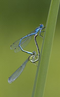 Azure Damselfly - Coenagrion puella Azure Damselfly,Coenagrion puella,dragonfly,wings,blue,metallic,shiny,ponds,rivers,streams,hunt,hunter,hunting,summer,spring,sun,sunny,warm,mating,reproduction,in cop,cop,copulation,paired,male and fe