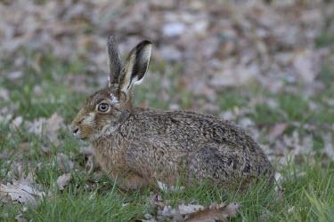 Brown Hare, Lepus europaeus, in lush green grass European hare,European brown hare,brown hare,Brown-Hare,Lepus europaeus,hare,hares,mammal,mammals,herbivorous,herbivore,lagomorpha,lagomorph,lagomorphs,leporidae,lepus,declining,threatened,precocial,r