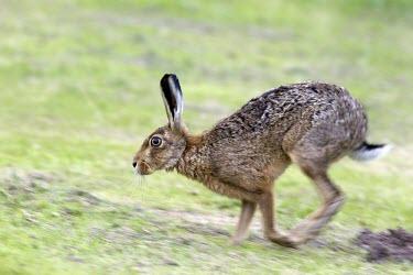 Brown Hare - Lepus europaeus - running with motion blur European hare,European brown hare,brown hare,Brown-Hare,Lepus europaeus,hare,hares,mammal,mammals,herbivorous,herbivore,lagomorpha,lagomorph,lagomorphs,leporidae,lepus,declining,threatened,precocial,r