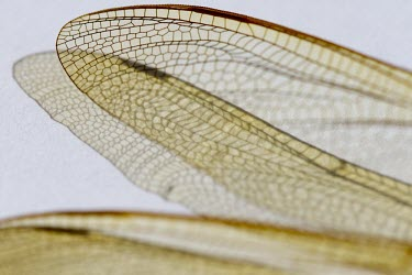 Brown Hawker, Aeshna grandis, wing detail that looks like stained glass, Wirral - July brown hawker,hawker,hawkers,dragonfly,dragonflies,Animalia,animal,animals,Arthropoda,arthropod,arthropods,Insecta,insect,insects,Odonata,Aeshnidae,Aeshna,grandis,Least Concern,adult,wing,structure,mac