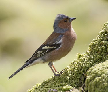 Chaffinch - Fringilla coelebs, adult male perched on mossy rock chaffinch,finch,bird,birds,fringilla coelebs,fringilla,coelebs,common,garden,adult,male,portrait,colour,colourful,small,perch,perched,Grossbeaks, Crossbills,Fringillidae,Aves,Birds,Perching Birds,Pass