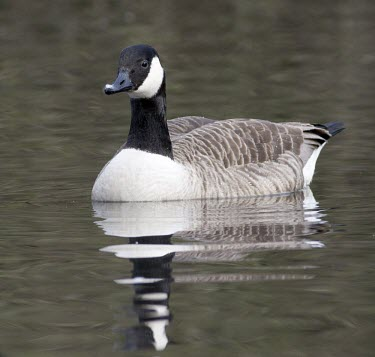 Canada Goose - Branta canadensis, swimming on pond Canada Goose,canada,goose,geese,bird,birds,honk,Branta canadensis,branta,canadensis,common,park,parks,duck pond,feed,feeding,large,waterfowl,wildfowl,visitor,noisy,noise,Canada-Goose,adult,water,swim,