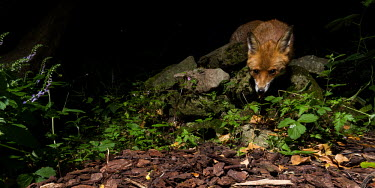 Red fox red fox,fox,foxes,dogs,Vulpes vulpes,Canidae,vertebrate,Mammalia,mammal,mammals,Carnivora,carnivore,carnivores,Least Concern,low angle,woodland,UK species,British species,UK,Europe,face,eyes,undergrow