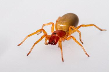 Woodlouse spider woodlouse spider,Dysdera crocata,Dysdera,Dysderidae,arachnid,Arachnida,spider,spiders,Araneae,Araneomorphae,UK species,British species,UK,Europe,studio,studio photo,white background,close up,close-up,