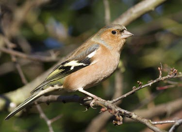 Chaffinch - Fringilla coelebs, adult male perched on branch in winter chaffinch,finch,bird,birds,fringilla coelebs,fringilla,coelebs,common,garden,adult,male,portrait,colour,colourful,small,perch,perched,sun,sunshine,beautiful,detail,Grossbeaks, Crossbills,Fringillidae,