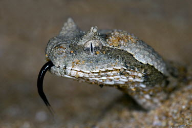 Desert horned viper Snakes,reptile,reptiles,head,face,close up,tongue,scales,snake,Viperidae,Pit Vipers,Reptilia,Reptiles,Chordates,Chordata,Squamata,Lizards and Snakes,Animalia,Asia,Cerastes,Least Concern,Desert,Carnivo
