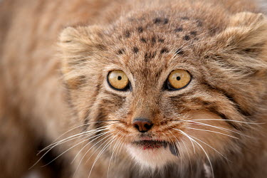 Pallas's cat close up eating prey Mammalia,Carnivora,carnivores,carnivore,feeding,eating,prey,predator,blood,Felidae,head,face,whiskers,eyes,Mammals,Carnivores,Cats,Chordates,Chordata,Asia,Carnivorous,Rock,Grassland,Mountains,Otocolob