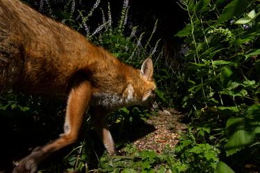 Red fox red fox,fox,foxes,dogs,Vulpes vulpes,Canidae,vertebrate,Mammalia,mammal,mammals,Carnivora,carnivore,carnivores,Least Concern,woodland,UK species,British species,UK,Europe,face,eyes,undergrowth,nocturn