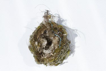 Chaffinch nest on white background chaffinch,finch,bird,birds,fringilla coelebs,fringilla,coelebs,common,garden,nest,white background,Grossbeaks, Crossbills,Fringillidae,Aves,Birds,Perching Birds,Passeriformes,Chordates,Chordata,Common