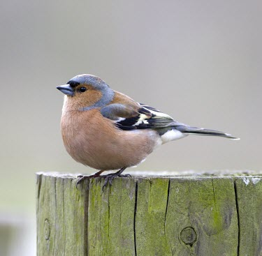 Chaffinch - Fringilla coelebs adult male perched on fence post in winter chaffinch,finch,bird,birds,fringilla coelebs,fringilla,coelebs,common,garden,adult,male,portrait,colour,colourful,small,perch,perched,sun,sunshine,puffed,puffed up,detail,Grossbeaks, Crossbills,Fringi