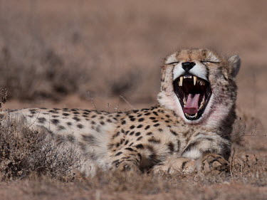 Asiatic cheetah Acinonyx,Asia,Iran,Asiatic,Animalia,Carnivora,Carnivore,sCarnivorous,Cats,Chordata,Chordates,Connochaetes taurinus,Critically Endangered,Mammalia,Mammals,yawning,yawn,teeth,mouth,tired,sleepy,pattern,