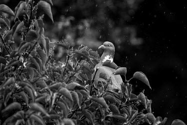 Black and white pigeon Common wood pigeon,woodpigeon,common pigeon,pigeon,pigeons,Columba palumbus,Aves,bird,birds,columbidae,vertebrate,UK species,British,UK,Europe,black and white,b&w,head,beak,bill,eye,side profile,least