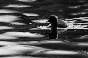 Duckling duckling,black and white,black & white,water,waterbird,waterbirds,swim,swimming,river,wetlands,UK species,British species,Aves,bird,birds,vertebrate,shade,shadow,negative space,ripple,ripples,droplet,