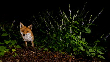 Red fox red fox,fox,foxes,dogs,Vulpes vulpes,Canidae,vertebrate,Mammalia,mammal,mammals,Carnivora,carnivore,carnivores,Least Concern,woodland,UK species,British species,UK,Europe,face,eyes,looking at camera,u