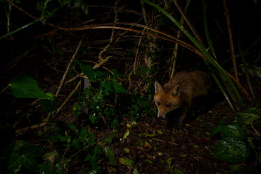 Red fox red fox,fox,foxes,dogs,Vulpes vulpes,Canidae,vertebrate,Mammalia,mammal,mammals,Carnivora,carnivore,carnivores,Least Concern,low angle,woodland,UK species,British species,UK,Europe,face,undergrowth,no