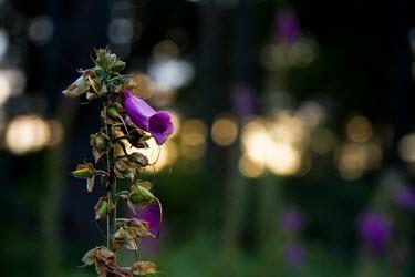 Foxglove foxglove,foxgloves,Digitalis purpurea,flower,flowers,Plantae,plant,plants,common foxglove,bloody bell,plantaginaceae,close up,close-up,shallow focus,negative space,side,purple,low light,Scrophulariace