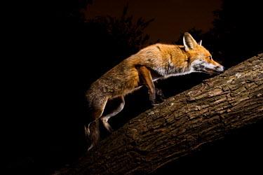 Red fox red fox,fox,foxes,dogs,Vulpes vulpes,Canidae,vertebrate,Mammalia,mammal,mammals,Carnivora,carnivore,carnivores,Least Concern,woodland,UK species,British species,UK,Europe,face,eyes,nocturnal,camera tr