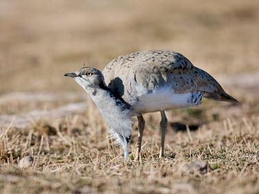 Houbara bustard Aves,Gruiformes,Otididae,Chlamydotis,birds,bird,feathers