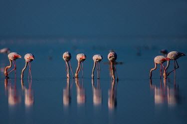 Greater Flamingo Bird,birds,reflection,bottom,backside,feeding,eating,water,wetland,pink,blue,negative space,flamingos,Aves,Phoenicopteriformes,Phoenicopteridae,Phoenicopterus,Ciconiiformes,Herons Ibises Storks and Vu
