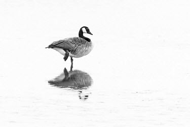 Canada goose Canada goose,goose,geese,Aves,bird,birds,anatidae,vertebrate,side profile,reflection,winter,perched,wading,waterbird,waterbirds,wildfowl,beautiful,least concern,UK species,British,introduced species,n