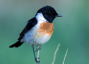 Common stonechat Bird,birds,perching,male,Aves,Birds,Old World Flycatchers,Muscicapidae,Perching Birds,Passeriformes,Chordates,Chordata,Europe,Wetlands,Animalia,Saxicola,Agricultural,Terrestrial,Scrub,Africa,Asia,Carn