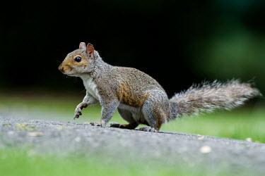 Grey squirrel gray squirrel,grey squirrel,squirrel,squirrels,Sciurus carolinensis,mammalia,mammal,mammals,rodentia,rodent,reodents,sciuridae,least concern,vertebrate,side profile,close up,introduced species,introdu