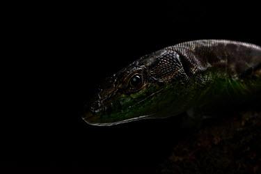 Caspian green lizard Lacertidae,Squamata,Reptilia,reptile,lizard,dark,face,head,lizards,negative space,studio,eye,scales