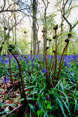 Bluebell wood bluebell,bluebells,wood,woodland,fern,ferns,floor,plant,plants,flower,flowers,blue,low angle,ground,low,view,shallow focus,unfurling,Magnoliophyta,Flowering Plants,Lily Family,Liliaceae,Monocots,Lilio