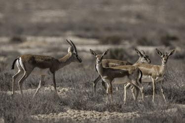 Goitered gazelle group Mammalia,mammals,Cetartiodactyla,Bovidae,Gazella,bovids,gazelles,gazelle,young,juvenile,Chordates,Chordata,Even-toed Ungulates,Artiodactyla,Mammals,Bison, Cattle, Sheep, Goats, Antelopes,Semi-desert,A