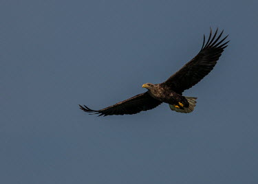 White-tailed eagle Eagles,eagle,birds,birds of prey,bird of prey,in flight,flying,wings,sky,blue,eagles,feathers,negative space,Chordates,Chordata,Aves,Birds,Accipitridae,Hawks, Eagles, Kites, Harriers,Ciconiiformes,Her