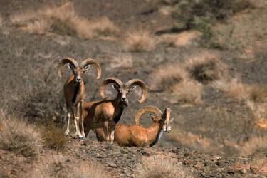 Urial mouflon Ovis orientalis arkal,wild sheep,male,males,horns,brush,arid,heat,Bovidae,Bison, Cattle, Sheep, Goats, Antelopes,Chordates,Chordata,Mammalia,Mammals,Desert,Europe,Temperate,Animalia,Ovis,Herbivorous,C