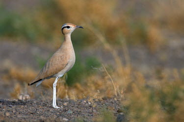 Cream-coloured courser Birds,bird,Charadriiformes,Glareolidae,Cursorius,Asia,standing,Chordates,Chordata,Ciconiiformes,Herons Ibises Storks and Vultures,Shorebirds and Terns,Aves,cursor,Flying,Africa,Terrestrial,Animalia,Eu