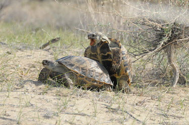 Mating process of Afghan tortoise Mating,mate,sex,sexual reproduction,reproduction,reproduce,male and female,male,Reptilia,Reptiles,Turtles,Testudines,Tortoises,Testudinidae,Chordates,Chordata,Terrestrial,Appendix II,Animalia,Testudo,