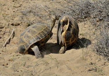 Male Afghan tortoise fighting Males,male,fighting,fight,territorial,mating season,aggressive,angry,kick,desert,sand,Reptilia,Reptiles,Turtles,Testudines,Tortoises,Testudinidae,Chordates,Chordata,Terrestrial,Appendix II,Animalia,Te