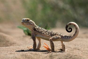 Persian toad agama Reptilia,reptiles,lizards,lizard,cute,smiling,happy,sand,Squamata,Agamidae,Phrynocephalus,Reptiles,Lizards and Snakes,Chordates,Chordata,Terrestrial,Grassland,persicus,Desert,Asia,Vulnerable,Animalia,