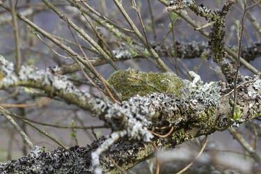 Chaffinch - Fringilla coelebs, nest on lichen encrusted branch chaffinch,finch,bird,birds,fringilla coelebs,fringilla,coelebs,common,nest,branch,lichen,camouflage,camouflaged,moss,Grossbeaks, Crossbills,Fringillidae,Aves,Birds,Perching Birds,Passeriformes,Chordat