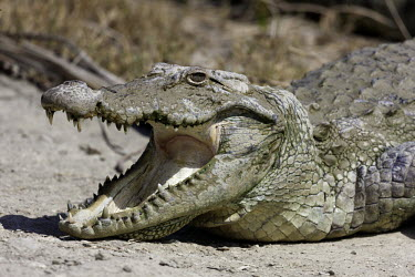 Mugger crocodile with mouth open Crocodylia,Crocodylidae,Crocodylus,reptile,reptiles,crocodiles,teeth,tongue,eyes,snout,face,close up,head,Chordates,Chordata,Reptilia,Reptiles,Carnivorous,palustris,Salt marsh,Terrestrial,Animalia,Vul