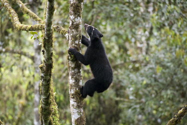 Wild Andean bear climbing in an Aguacatillo tree to feed on the fruit poaching,wildlife crime,bear paw,dead,death,wildlife product,Carnivores,Carnivora,Bears,Ursidae,Mammalia,Mammals,Chordates,Chordata,Vulnerable,Omnivorous,Forest,Tremarctos,Grassland,Animalia,ornatus,T