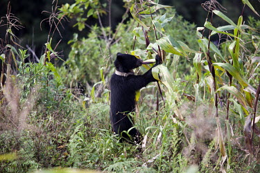 Andean bear, named Fiona, eating corn in a corn field wearing a radio collar radio collar,monitoring,conservation,eating,feeding,farmland,crops,crop,Andean bear,Spectacled bear,Tremarctos ornatus,Carnivores,Carnivora,Bears,Ursidae,Mammalia,Mammals,Chordates,Chordata,Ours Andin