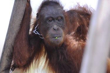 Orangutan in chains. This orangutan has lived in captivity for 6 years. portrait,captivity,backyard,thoughtful,captive,Mammalia,Mammals,Chordates,Chordata,Primates,Hominids,Hominidae,Animalia,Arboreal,Endangered,pygmaeus,Herbivorous,Appendix I,Pongo,Asia,Rainforest,IUCN R