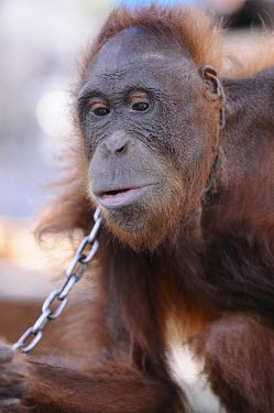 Orangutan in chains. This orangutan has lived in captivity for 6 years. portrait,captivity,backyard,captive,Mammalia,Mammals,Chordates,Chordata,Primates,Hominids,Hominidae,Animalia,Arboreal,Endangered,pygmaeus,Herbivorous,Appendix I,Pongo,Asia,Rainforest,IUCN Red List,Wes