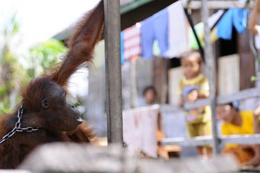 Orangutan in chains. This orangutan has lived in captivity for 6 years. captivity,backyard,captive,locals,shallow focus,Mammalia,Mammals,Chordates,Chordata,Primates,Hominids,Hominidae,Animalia,Arboreal,Endangered,pygmaeus,Herbivorous,Appendix I,Pongo,Asia,Rainforest,IUCN