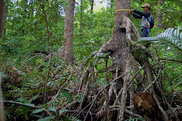 An Orangutan Foundation staff member measuring diameter of breast height to estimate carbon stock Mangrove forests,carbon stock,holding ecosystems,ecosystem,climate change,forest,global warming,measurement,rainforests,research,roots,tree,Kalimantan